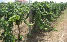 Ptarmigan Vineyards