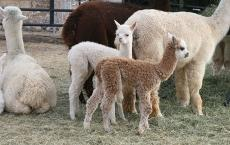 SunCrest Orchard Alpacas and Fiber Works
