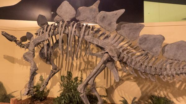 traveling dad omg a real dinosaur bone you can touch visit grand