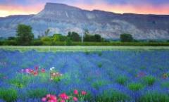 Colorado Lavender Festival (Festival in the Park-Saturday Only)