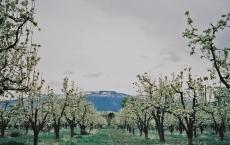 Pear Blossom Farms